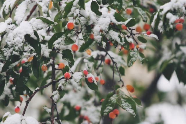 voćka pod snijegom