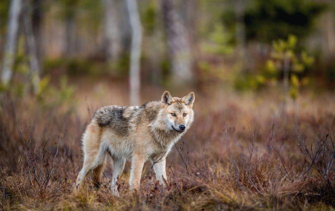 Ogulin.eu PRIRODA SE STVARNO OBNAVLJA: Ove tri životinje vraćaju se s ruba izumiranju unatoč svemu što im se dogodilo